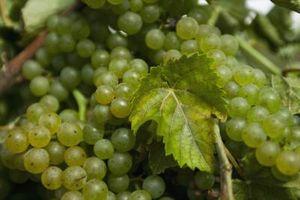 Cómo conservar la uva hojas de la vid