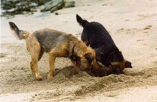 ¿Por qué los perros Ocultar su comida?