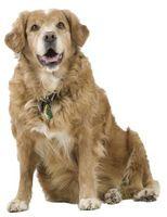 Los efectos de la cortisona en caninos