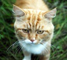 ¿Qué edad tiene un gato macho tiene por qué ser para producir gatitos?
