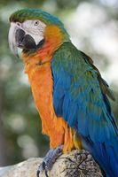 Las variedades de aves mascota