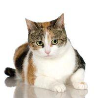 El peso medio de los gatos femeninos Calicos