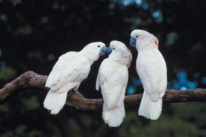 ¿Cómo saber la edad de un Cockatoo