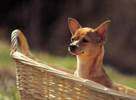 ¿Cómo puedo saber qué clase de Chihuahua tengo?