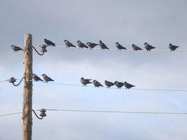 ¿Por qué los pájaros Roost en las líneas eléctricas?