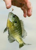 ¿Se puede poner Goldfish y Pez-Juntos en un tanque?
