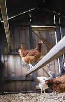 Altura de pollo Percha