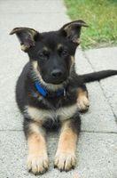Cómo cuidar y entrenar a cachorros de pastor alemán