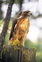 Cómo identificar un halcón en Michigan