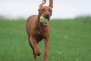 Cómo hacer un limpiador de oídos para perros
