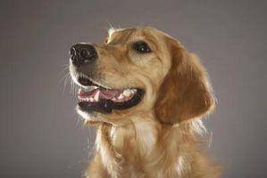 Cómo determinar la edad de los perros utilizando sus dientes
