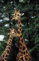 ¿Qué características y adaptaciones Do jirafas necesidad de vivir en una sabana?