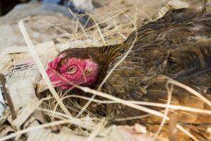 Cómo ayudar a un huevo de gallina-Bound