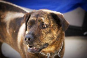 Los síntomas de la mordedura de perro de infección