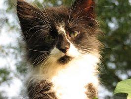 El linfoma renal en gatos
