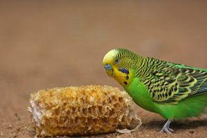 ¿Cómo saber la diferencia entre un hombre y Parakeet Mujer