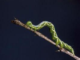 Las larvas de la polilla de tipos de