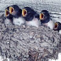 Las aves que utilizan fango por la jerarquización
