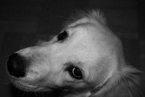 Mediastinal linfoma en perros