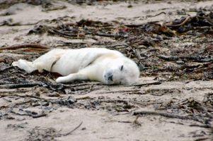 Datos interesantes sobre las focas de Groenlandia