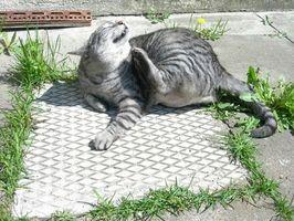Descripción de Worms que los gatos pueden Obtener