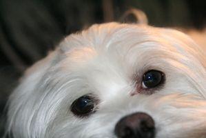 La infección intestinal en los perros malteses
