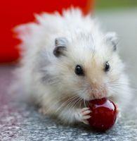 Los hámsters pueden comer ciruelas?