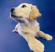 La infección urinaria y la irritación del sistema en un cachorro