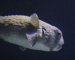Cómo cuidar de un pez globo
