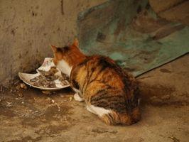 Las enfermedades que causan un gato no comer mucho