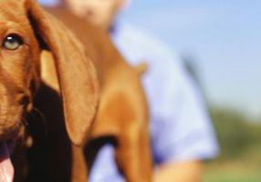 Remedios caseros para los oídos del perro hinchado picado por hormigas