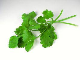 Mejor manera de almacenar cilantro fresco