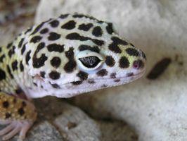Cómo hacer una incubadora para geckos leopardo