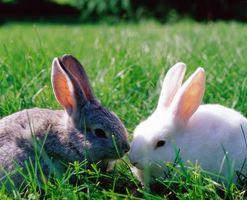 Cómo cuidar a los conejos de rabo para bebé