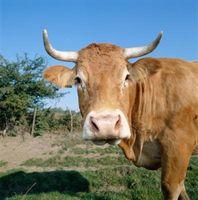 Cómo humo lengua de vaca