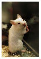 Los ratones pueden comer mantequilla de cacahuete?