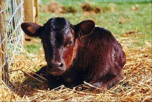¿Cuánto para alimentar una vaca después del parto?