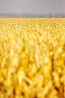 Cómo utilizar Foodsaver de maíz de congelación