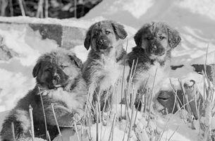 Los perros deben visitar con compañeros de camada?