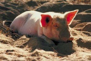 Cómo criar cerdos en los pastos con fines de lucro