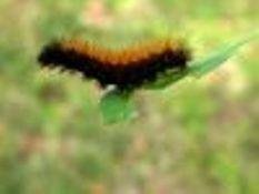 Cómo hacer Oruga Alimentos para un hábitat de la mariposa