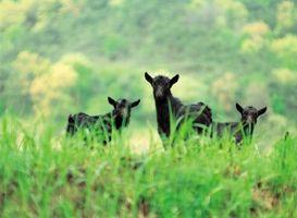 Cómo saber cuando una cabra está teniendo su bebés?