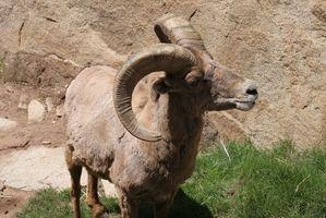 Cómo saber si una cabra está embarazada