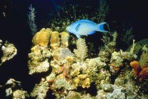 Las algas de pelo blanco en acuarios de agua salada