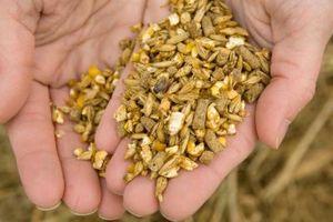 Cómo alimentar pulpa de remolacha a los ganados vacunos