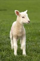 Como corderos trasero en Sustituto de leche