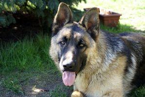 La infección lombriz intestinal en los perros