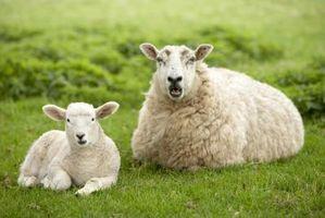 Cómo alimentar pulpa de remolacha a una oveja
