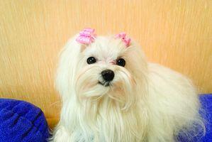 Trastornos neurológicos en los perros malteses