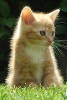 Acerca de la diabetes felina en gatos
